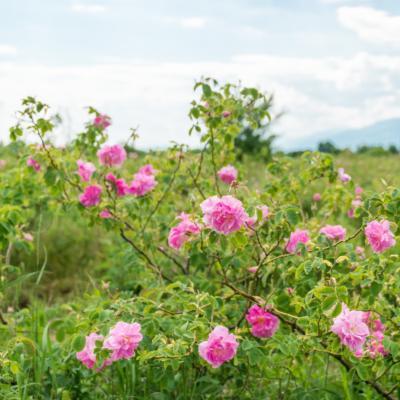 Image en-tête extrait essentiel de rose de damas