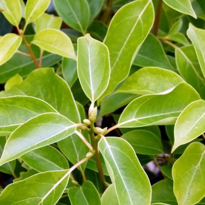 Image en-tête huile essentielle de ravintsara
